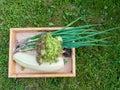 Harvesting zucchini, Lollo rosso lettuce salad and green onion i Royalty Free Stock Photo