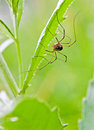 The harvestman spider Royalty Free Stock Image