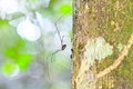 Harvestman spider or daddy longlegs close up on tree in forest Stock Image
