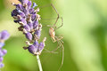 Harvestmen (No. 4) Royalty Free Stock Photo