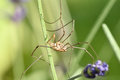 Harvestmen (No. 1) Royalty Free Stock Photo