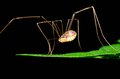 Harvestmen spider perched on a green plant leaf Royalty Free Stock Photography