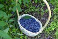 Haskap berry in the wicker basket on the ground Royalty Free Stock Photo