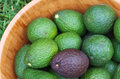 Hass avocados crop of the variety in a bowl one avocado is ripe black in contrast of the others green which are still ripening Stock Photo
