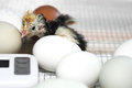 Hatched Chick in Incubator Royalty Free Stock Photo