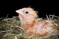 Hatched chick newly still wet and looking into the world Stock Photo
