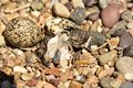 Newly hatching Killdeer chick emerging from it`s egg. Royalty Free Stock Photo