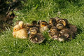 Hatchling of a duck, Mallard Royalty Free Stock Photography