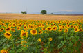Haute provence sunflower fields and wheat typical in france Stock Photos