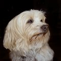 Havanese senior portrait of a year old dog white and long haired against black background Stock Images