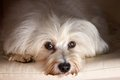 Havanese in studio dog portrait the loyal dog look directly into the camera Royalty Free Stock Images