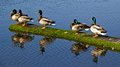 So we have the ducks lined up now what mallard at albert head lagoon colwood bc canada Royalty Free Stock Image