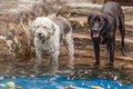 Labrador And A Terrier Dog Trying To Catch A Tennis Ball Royalty Free Stock Photo