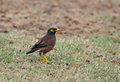 Hawaii common myna standing grass Stock Photo