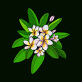 Hawaii flower Frangipani and leaves, white Plumeria on dark gree Royalty Free Stock Photo