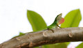 Hawaii gecko in a branch with dewlap Stock Photography
