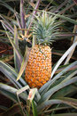 Hawaii - Ripe pineapple Royalty Free Stock Photo