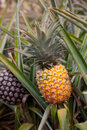 Hawaii ripe pineapple on plant found in plantation field Stock Photography