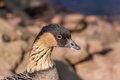 Hawaiian goose portrait of a branta sandvicensis Royalty Free Stock Photography