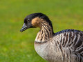 Hawaiian goose portrait branta sandvicensis on a green grass field Royalty Free Stock Images