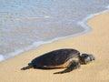Hawaiian green sea turtle (honu, Chelonia mydas) Stock Photos