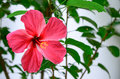 Hawaiian hibiscus flower Royalty Free Stock Photo