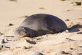Hawaiian monk seal is sleeping on the oahu beach Stock Photo