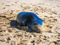 Hawaiian monk seal sleeping on the sand monachus schauinslandi is a species at risk of extinction and endemic and lives in hawaii Royalty Free Stock Photography