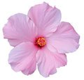 Hawaiian Pink Hibiscus isolated on white Royalty Free Stock Photography
