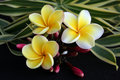Hawaiian Plumeria Flower Stock Image