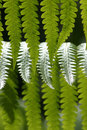 Hawaiian Rain Forest Fern Royalty Free Stock Photos