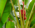 Hawaiian red banana growing in a rainforest on the big island hawaii Stock Photos