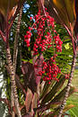 Hawaiian Red Ti Leaf and red berries Royalty Free Stock Photo
