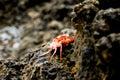Hawaiian Sea Crab Royalty Free Stock Photo