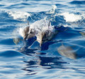 Hawaiian spinner dolphins a number of play in the wake of our boat Stock Images
