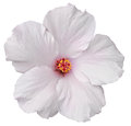 Hawaiian white hibiscus isolated on white delicate flower found the big island of hawaii makes for easy clipping path Stock Images