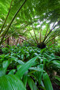 Hawaiin tree fern in rain forest Stock Image