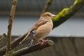 Hawfinch Bird Perching On A Br...
