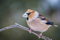 Hawfinch is on a branch in winter Stock Photos
