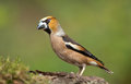 Hawfinch coccothraustes coccothraustes on a branch Stock Photo