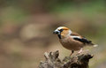 Hawfinch coccothraustes coccothraustes on a branch Royalty Free Stock Photo