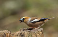 Hawfinch coccothraustes coccothraustes on a branch Stock Photography