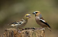 Hawfinch coccothraustes coccothraustes on a branch Royalty Free Stock Photography