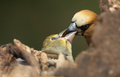 Hawfinch coccothraustes coccothraustes feeding his young Royalty Free Stock Photos