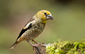 Hawfinch coccothraustes coccothraustes juvenile on a branch Stock Photo