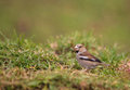 Hawfinch on grass Royalty Free Stock Images