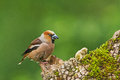 Hawfinch a landed on the tree in bulgaria Royalty Free Stock Photography