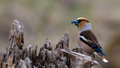 Hawfinch perching Royalty Free Stock Photo