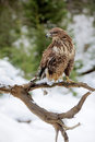 Hawk on a branch in forest Stock Images