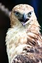 Hawk Eagle Fierce Portrait Royalty Free Stock Photo